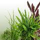 Nuevo Stock:  Vesicularia D... - last post by AquaPlantas